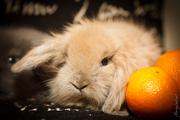 Карликовые крольчата породы