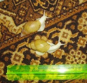 Продажа сухопутных улиток Ахатин, тараканов
