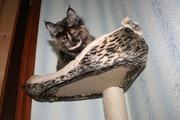 Котята-мейн-куны. Доставка.