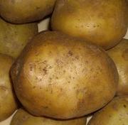 Продаем картофель в Рязанской области 5, 50 руб.