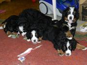 Продаются щенки бернского зенненхунда