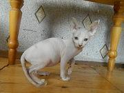 Продаются котята канадского сфинкса Белая Холуница
