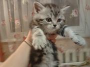 Продаются настоящие британские котята