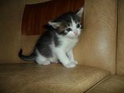 Котята вятской пижемской породы