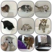 красивые британские котята