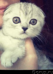 продам котенка(девочку)шотландской вислоухой породы