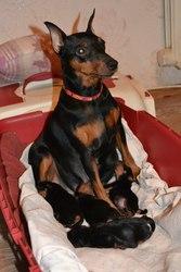 Цвергпинчер (Карликовый пинчер) щенки