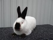 кролики племенные породы Калифорнийский