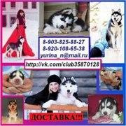Продам красивых голубоглазых щеночков хаски чёрно-белого окраса; )