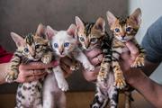 Продаются бенгальские котята!!!